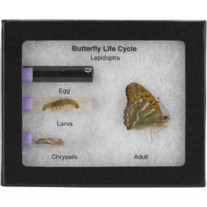 Butterfly Metamorphosis & Life Cycle Stages Riker Mount